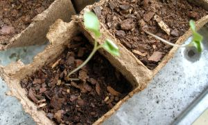 brussels sprouts seedlings in teeny peat pots