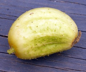 disease-stunted lemon cucumber
