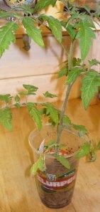 Black Brandywine Tomato Seedling