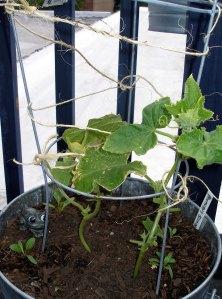 cucumber climbing