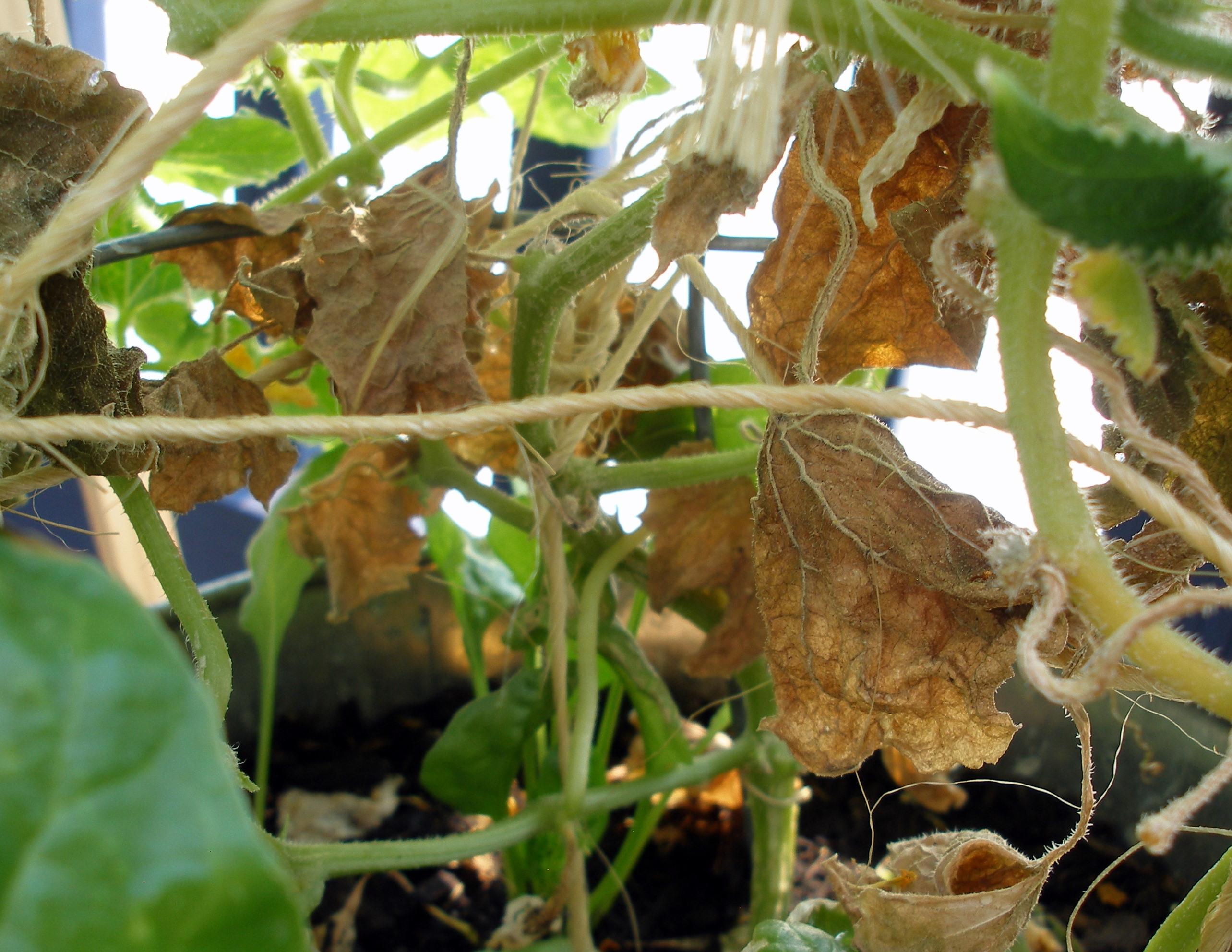 Why do cucumbers turn yellow leaves