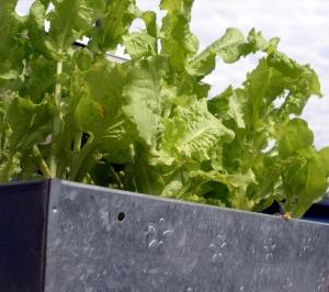 Lettuce Trees