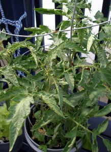 calcium deficiency in tomato leaves