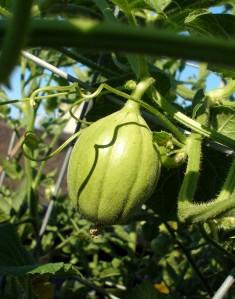 Mystery Melon, July