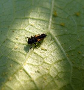 Ladybug Larva