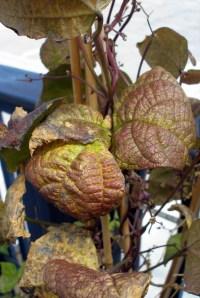Blauhide Pole Bean, nutrient deficiency