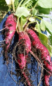 Long Scarlet radishes
