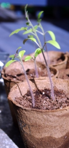 Tomato seedlings pre-pricked