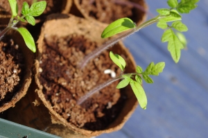 tomato seedlings true leaves