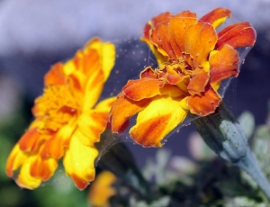 marigold trap crop