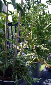 tomande tomato, staked