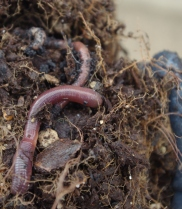 earthworms!