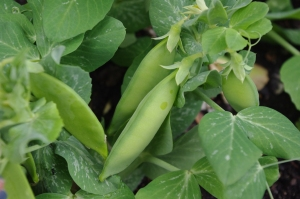 tom thumb peas