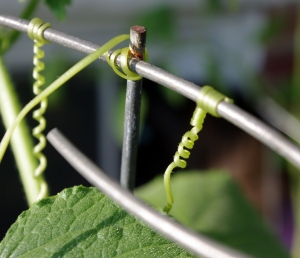 cucumber tendril, plants on deck