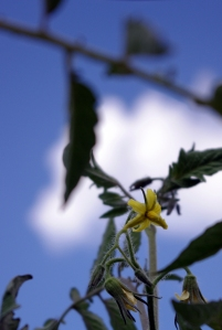 early girl tomato blossom