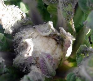 101814_aphidcauliflower